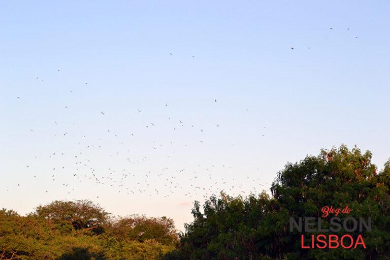 Revoada de pássaros nas margens do Rio Jundiaí é encantadora