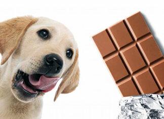 Você sabia que seu cão pode morrer se consumir chocolate?