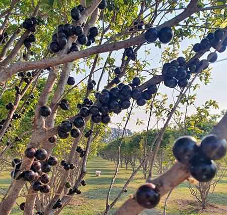 Read more about the article Parque Maeda retoma passeios à plantação de jabuticabas